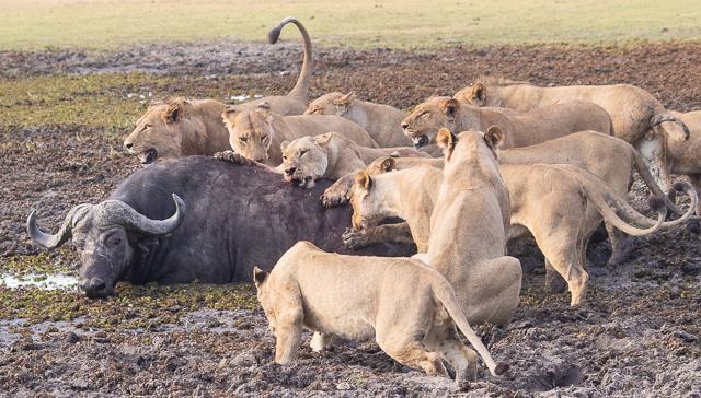 caza de leones moremi botswana (13)