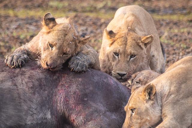 caza de leones moremi botswana (14)