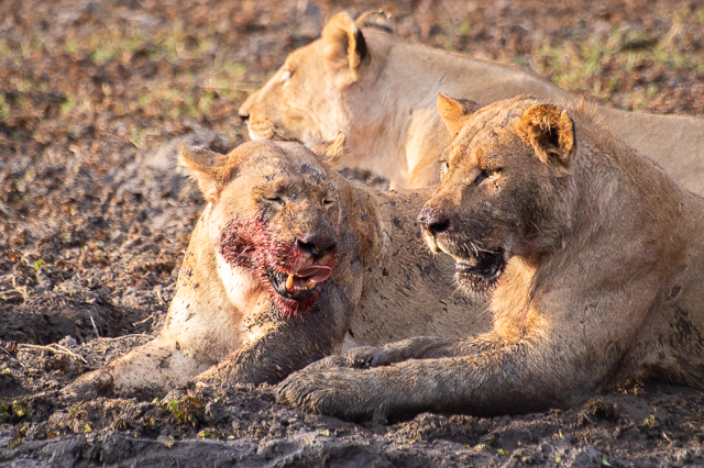 caza de leones moremi botswana (15)