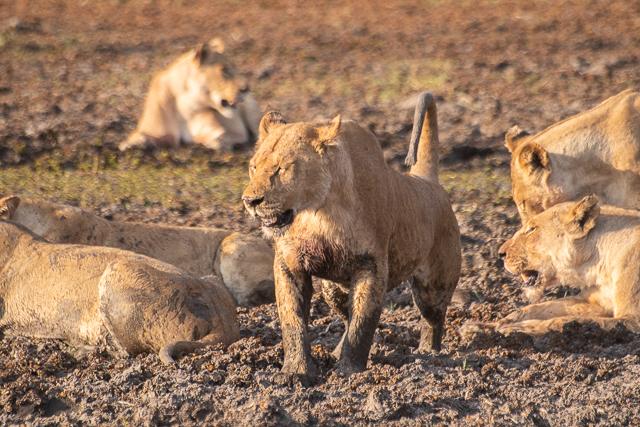 caza de leones moremi botswana (16)