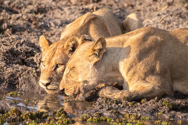 caza de leones moremi botswana (17)