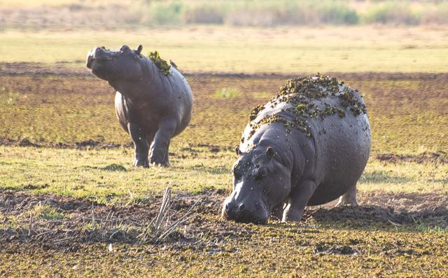 caza de leones moremi botswana (18)