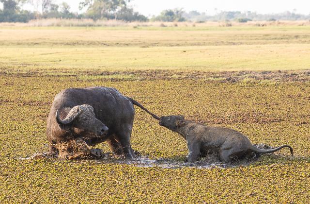 caza de leones moremi botswana (19)
