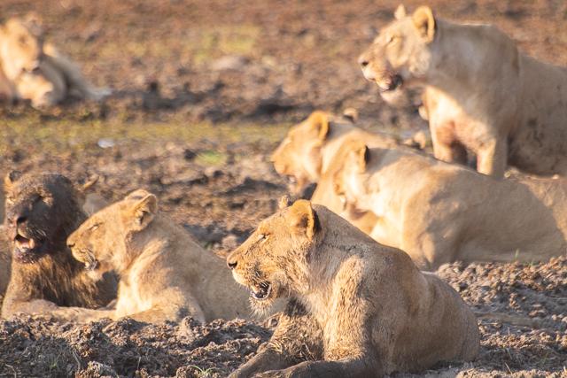 caza de leones moremi botswana (20)