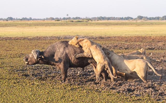 caza de leones moremi botswana (21)