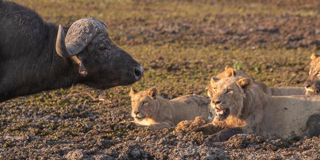 caza de leones moremi botswana (23)