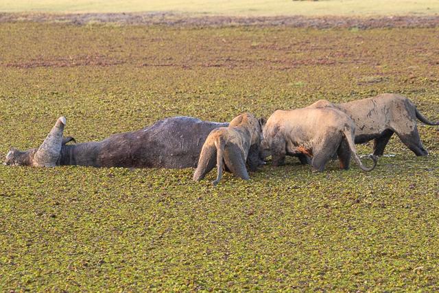 caza de leones moremi botswana (25)