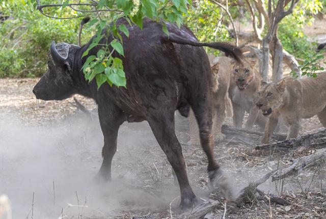 caza de leones moremi botswana (3)