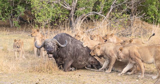 caza de leones moremi botswana (4)