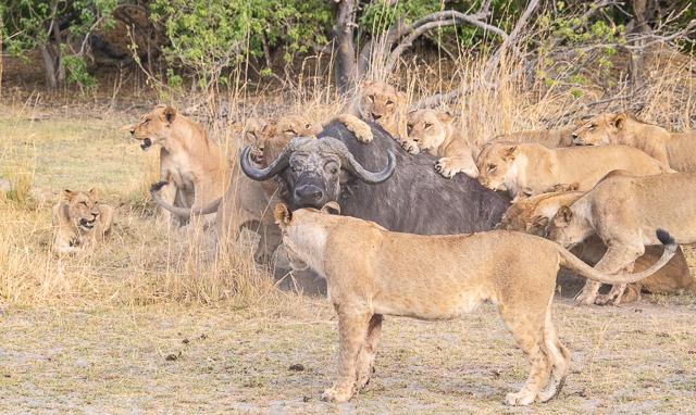 caza de leones moremi botswana (6)