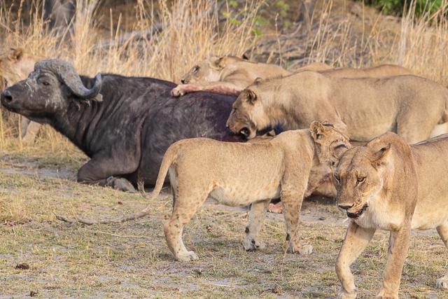 caza de leones moremi botswana (7)