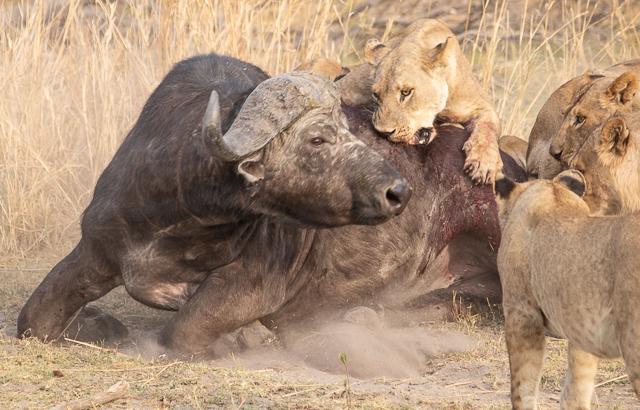caza de leones moremi botswana (9)