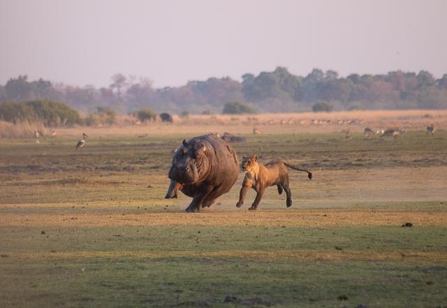en busca de un rinoceronte en botswana moremi (11)