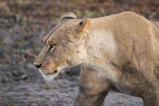 en busca de un rinoceronte en botswana moremi (14)