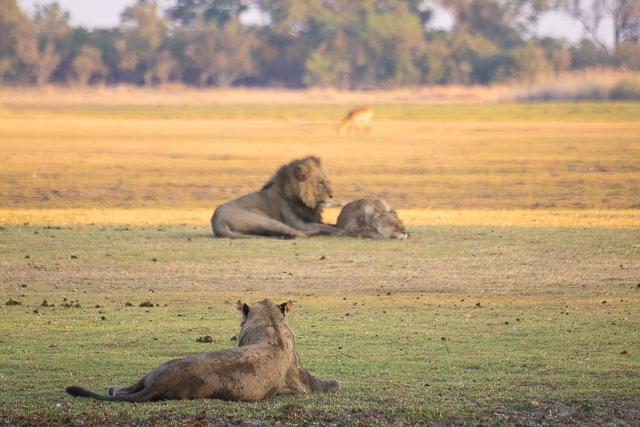 en busca de un rinoceronte en botswana moremi (15)