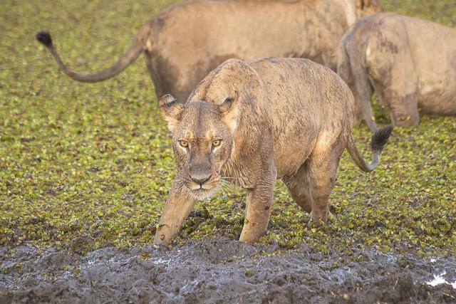 en busca de un rinoceronte en botswana moremi (16)