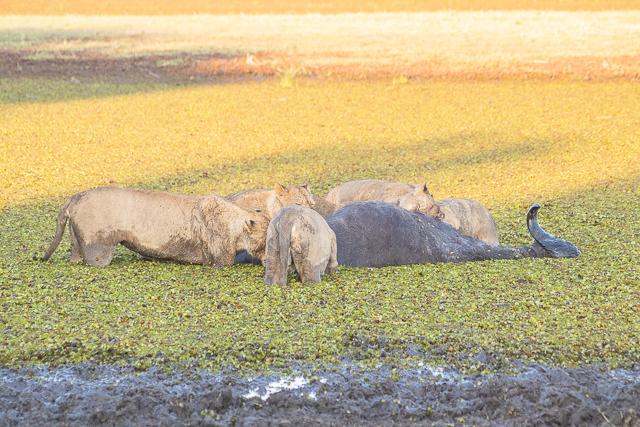 en busca de un rinoceronte en botswana moremi (19)