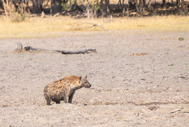 en busca de un rinoceronte en botswana moremi (27)