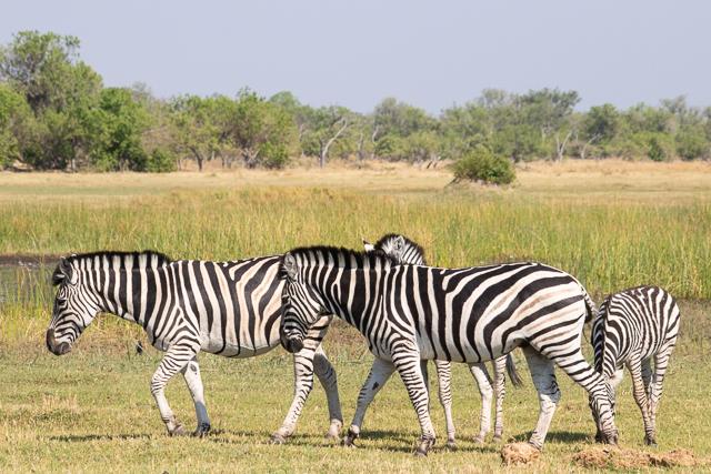 en busca de un rinoceronte en botswana moremi (28)