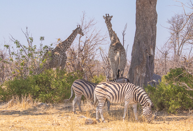 en busca de un rinoceronte en botswana moremi (30)