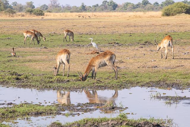 en busca de un rinoceronte en botswana moremi (31)