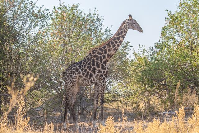 en busca de un rinoceronte en botswana moremi (34)