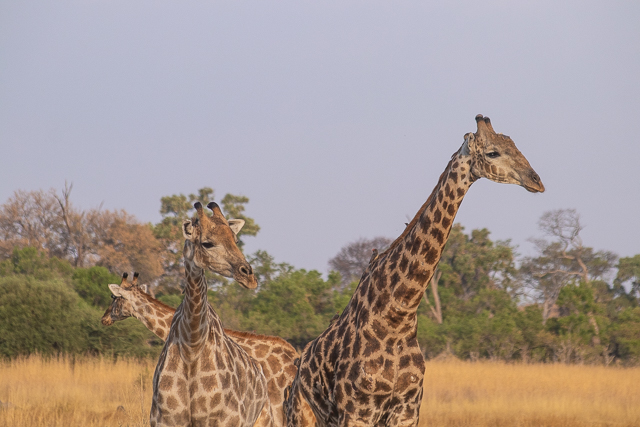 en busca de un rinoceronte en botswana moremi (36)