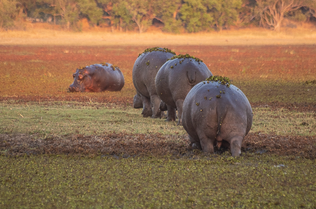 en busca de un rinoceronte en botswana moremi (6)