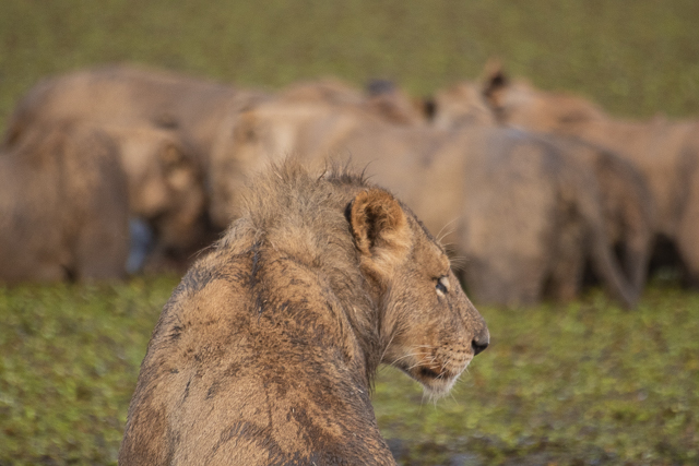 en busca de un rinoceronte en botswana moremi (7)
