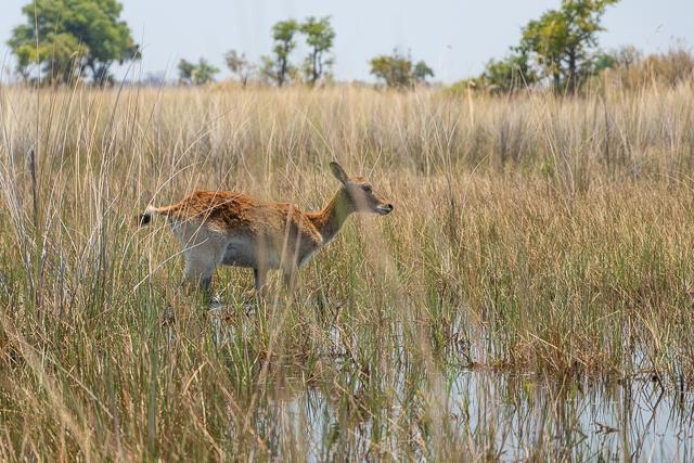 safari en barca por el río khwai (23)