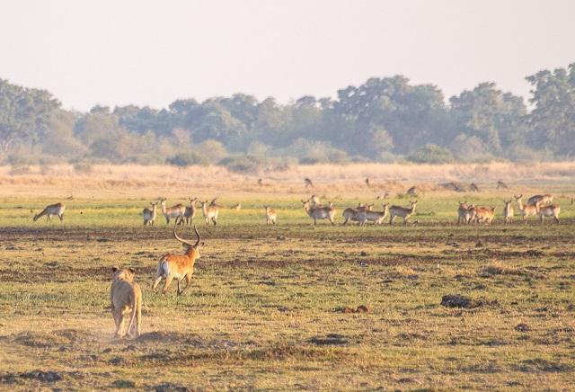 safari moremi botswana (11)