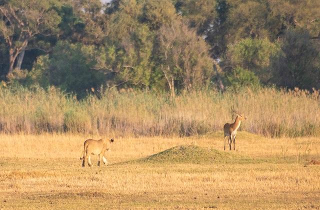 safari moremi botswana (13)