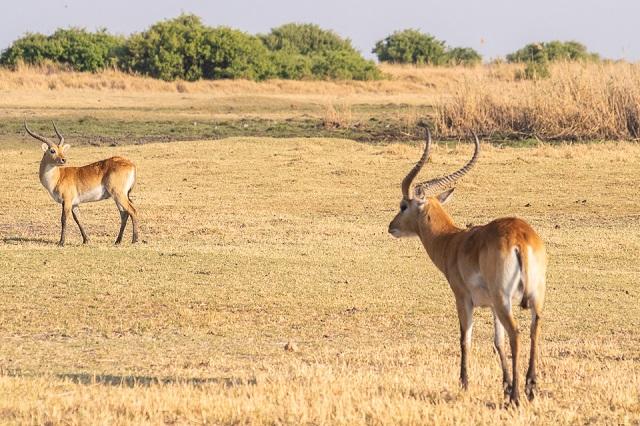 safari moremi botswana (19)