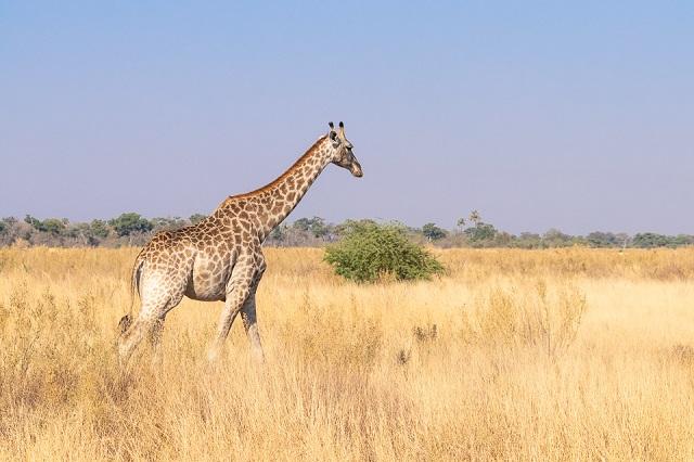 safari moremi botswana (24)