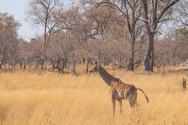 safari moremi botswana (26)