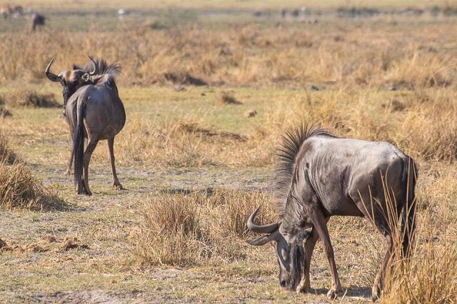 safari moremi botswana (28)