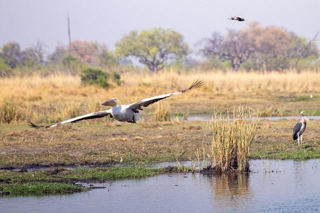 safari moremi botswana (30)