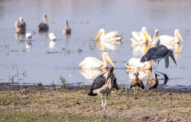 safari moremi botswana (33)