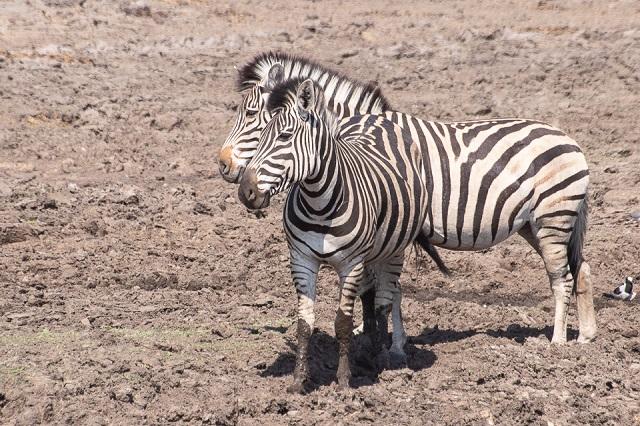safari moremi botswana (36)