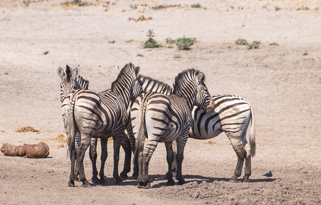 safari moremi botswana (37)