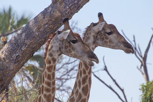 safari moremi botswana (38)