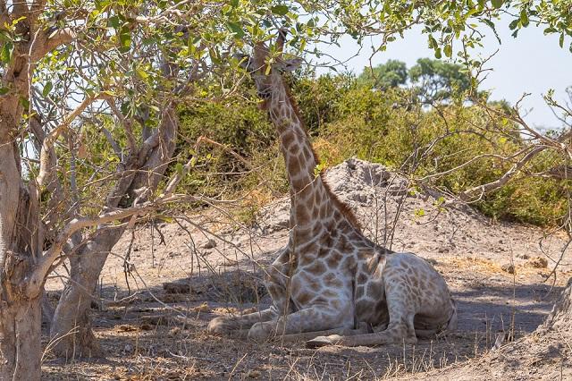 safari moremi botswana (40)