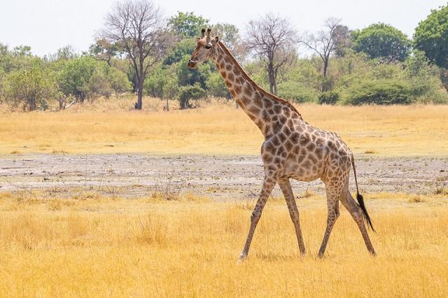 safari moremi botswana (41)