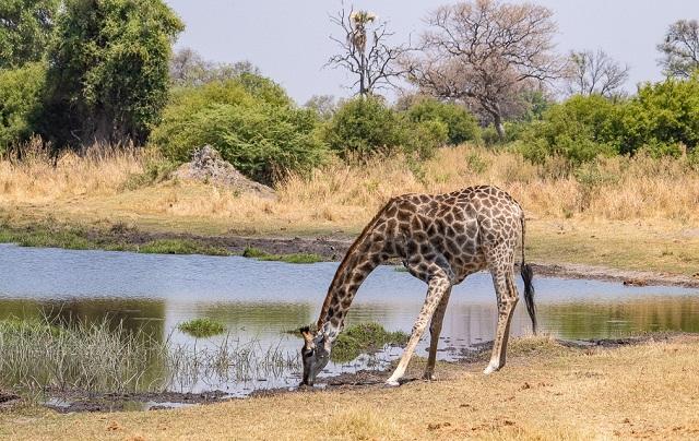 safari moremi botswana (42)