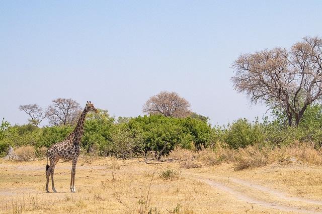 safari moremi botswana (45)