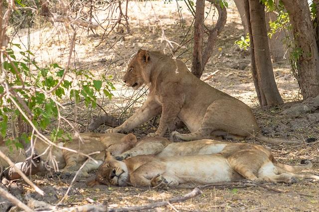 safari moremi botswana (47)