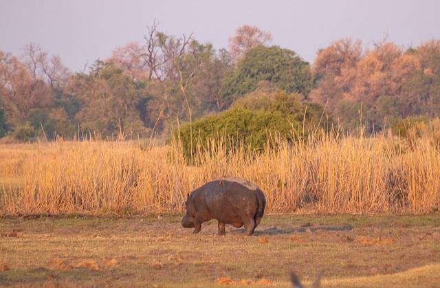 safari moremi botswana (7)
