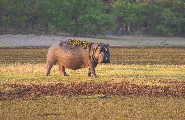 safari moremi botswana (9)