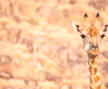 safari por la ribera del río khwai jirafa botswana