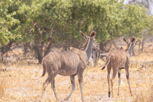 safari por la rivera del río khwai (1)